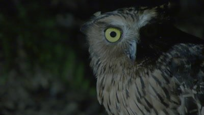 Buffy Fish Owl hunting at night at the edge of a river turns to look into camera