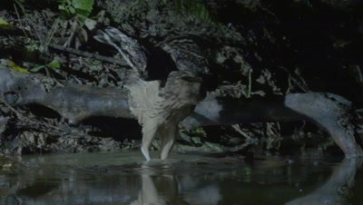 Buffy Fish Owl hunting at night jumps out of a river after unsuccessfully attempting to capture a fish