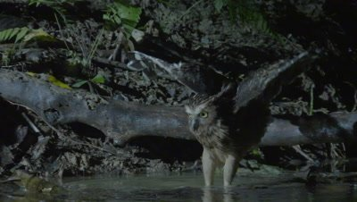 Buffy Fish Owl hunting at night jumps into river attempting to capture a fish
