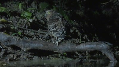 Buffy Fish Owl hunting at night jumps into the water and catches a fish; jumps back out of the water and begins feeding