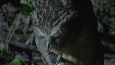 Buffy Fish Owl nibbles on a captured fish in it's talons
