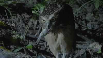 Buffy Fish Owl hunting at night swallows a captured fish