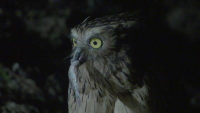 Buffy Fish Owl turns to look at camera, walks along a branch with a captured fish in it's beak