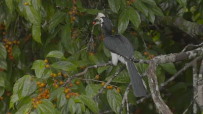 Male Oriental Pied Hornbill foraging in fruiting tree