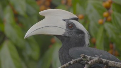 Male Black Hornbill foraging in fruiting tree