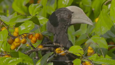 Male juvenile Black Hornbill foraging in fruiting tree takes flight