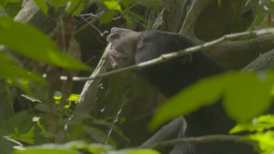 Sun Bear in a tree, smelling the air