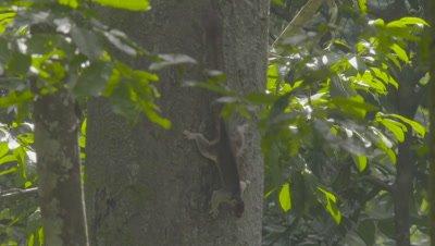 Black Giant Squirrel runs around tree trunk