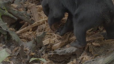 Sun Bear ripping up a rotten log in search of food, with treated wound visible on it's back