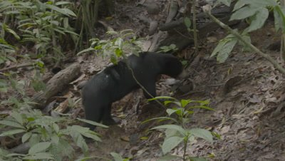 Sun Bear walking through the forest