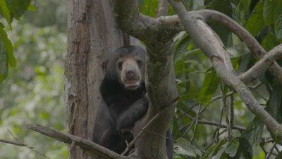 Sun Bear resting on a tree branch