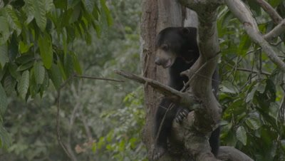 Sun Bear resting on a tree branch, with legs dangling over the sides