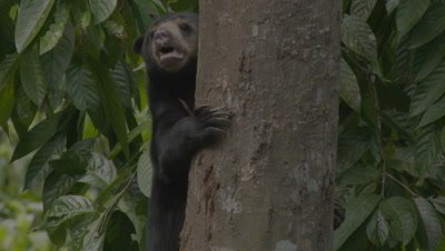 Sun Bear climbing down from a tree
