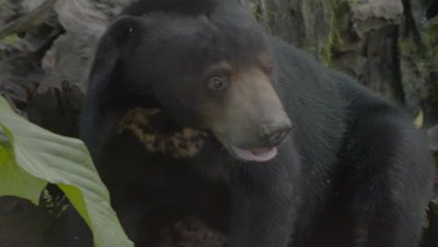 Sun Bear ripping up a rotten log in search of food; treated wound visible it's back