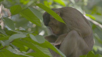 Southern Pig-tailed Macaque mother grooming a juvenile Macaque in a tree