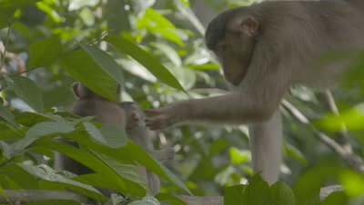 Southern Pig-tailed Macaque mother grooming two juvenile Macaques in a tree