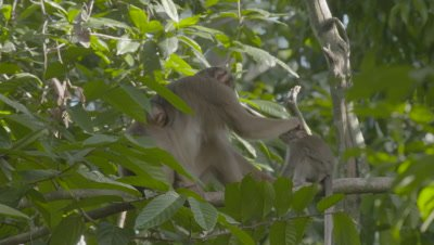 Southern Pig-tailed Macaque mother grooming two juvenile Macaques in a tree; one juvenile jumps one the mother's back