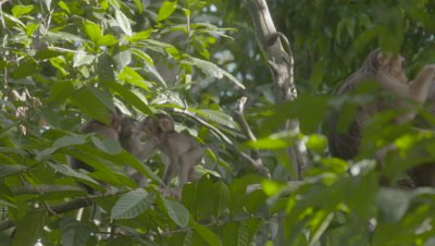 Hybrid Southern Pig-tailed Macaque & Crab-eating Macaque family grooming and playing in a tree