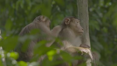 Two adult Southern Pig-tailed Macaques grooming each other