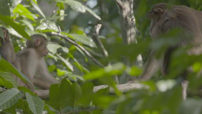 Hybrid Southern Pig-tailed Macaque & Crab-eating Macaque babies playing