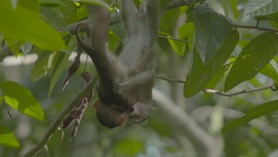 Macaque hybrids - babies playing