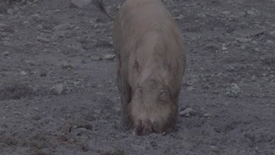 Male Bornean Bearded Pig drining from a puddle at a Mud Volcano