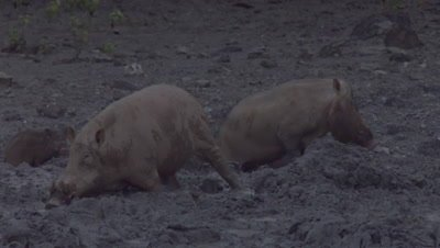 Bornean Bearded Pigs (Male, Mother, & Piglets) foraging in the mud and drinking from puddles at a Mud Volcano