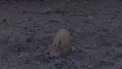 Male Bornean Bearded Pig foraging in the mud, half buried in a puddle at a Mud Volcano