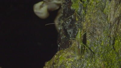 Lacewing preens near the entrance to a hole in a tree where a Land Crab is hiding