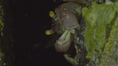Land Crab dismembers and feeds on a captured Lacewing at the entrance to a hole in a tree