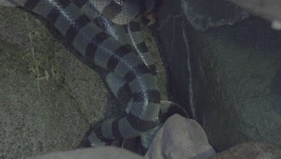 Yellow-Lipped Sea Krait mating ball hidden in the rocks; the head of one snake enters the frame