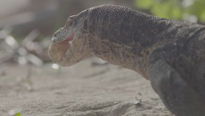 Water Monitor attempts to eat turtle egg; keeps dropping the egg in the sand