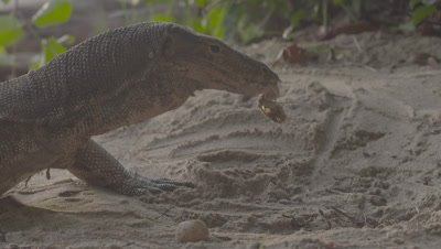 Water Monitor at a Sea Turtle nest on a beach, unearthing and feeding on eggs