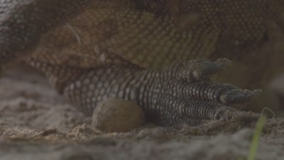 Close up on the foot of a Water Monitor feeding on eggs from the nest of a Sea Turtle