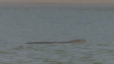 Water Monitor in the sea swimming to the shore