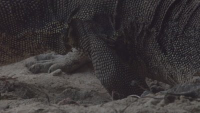 Close up on Water Monitor with foot in a Sea Turtle nest