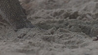 Close up on the foot of a Water Monitor as it digs through the sand