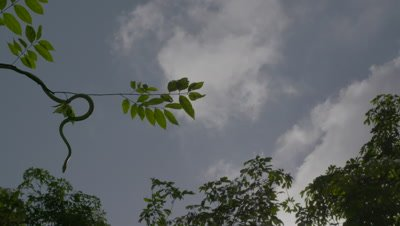 Paradise Tree Snake (Paradise Flying Snake) launches off a branch and falls through the air