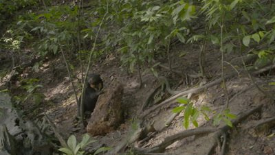 Sunbear walks up to rotting log