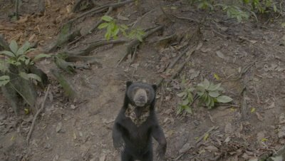 Sunbear standing on it's hind legs, chest patch and treated wound on back are visible