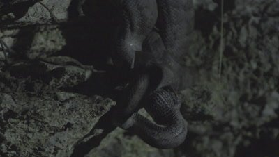 (Night Shoot) Puerto Rican Boa feeding on a captured bat outside a cave