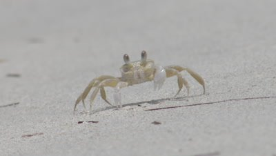 Ghost Crabs making burrows in the sand; one crab stares into camera