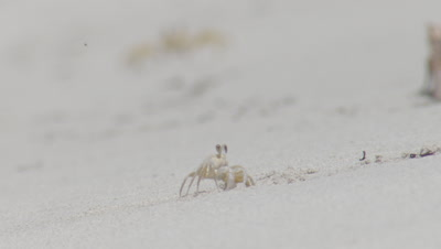 Ghost Crabs making burrows in the sand