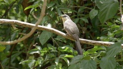 Puerto Rican Lizard Cuckoo in tree, scratches head with foot
