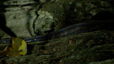 Puerto Rican Boa in cave