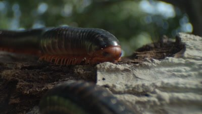 Giant Millipede on forest floor in daylight, feeding on decomposing wood of a dead tree