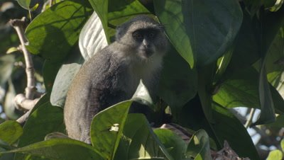 Sykes' Monkey (Blue Monkey) sitting in tree