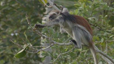 Zanzibar Red Colobus monkey foraging in Indian Almond tree