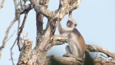 Zanzibar Red Colobus monkey sitting in sunshine in Indian Almond tree