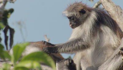 Mother Zanzibar Red Colobus monkey grooming baby in tree